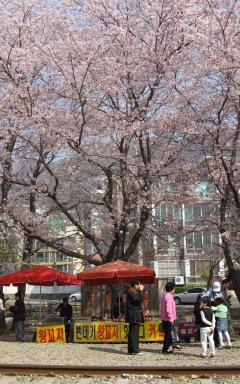 2008年慶和の桜